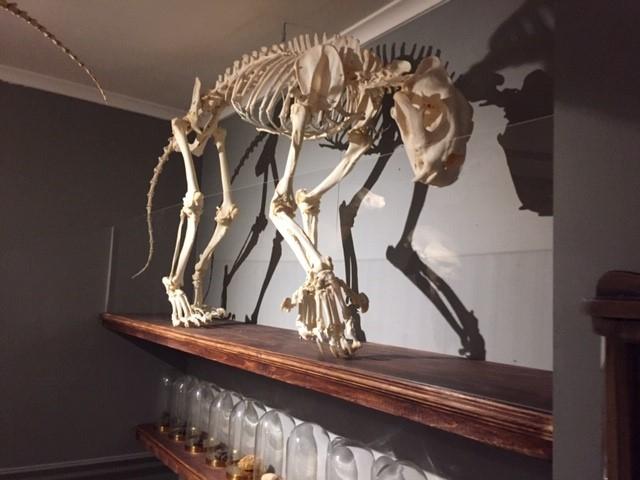 Skelet Rhenen